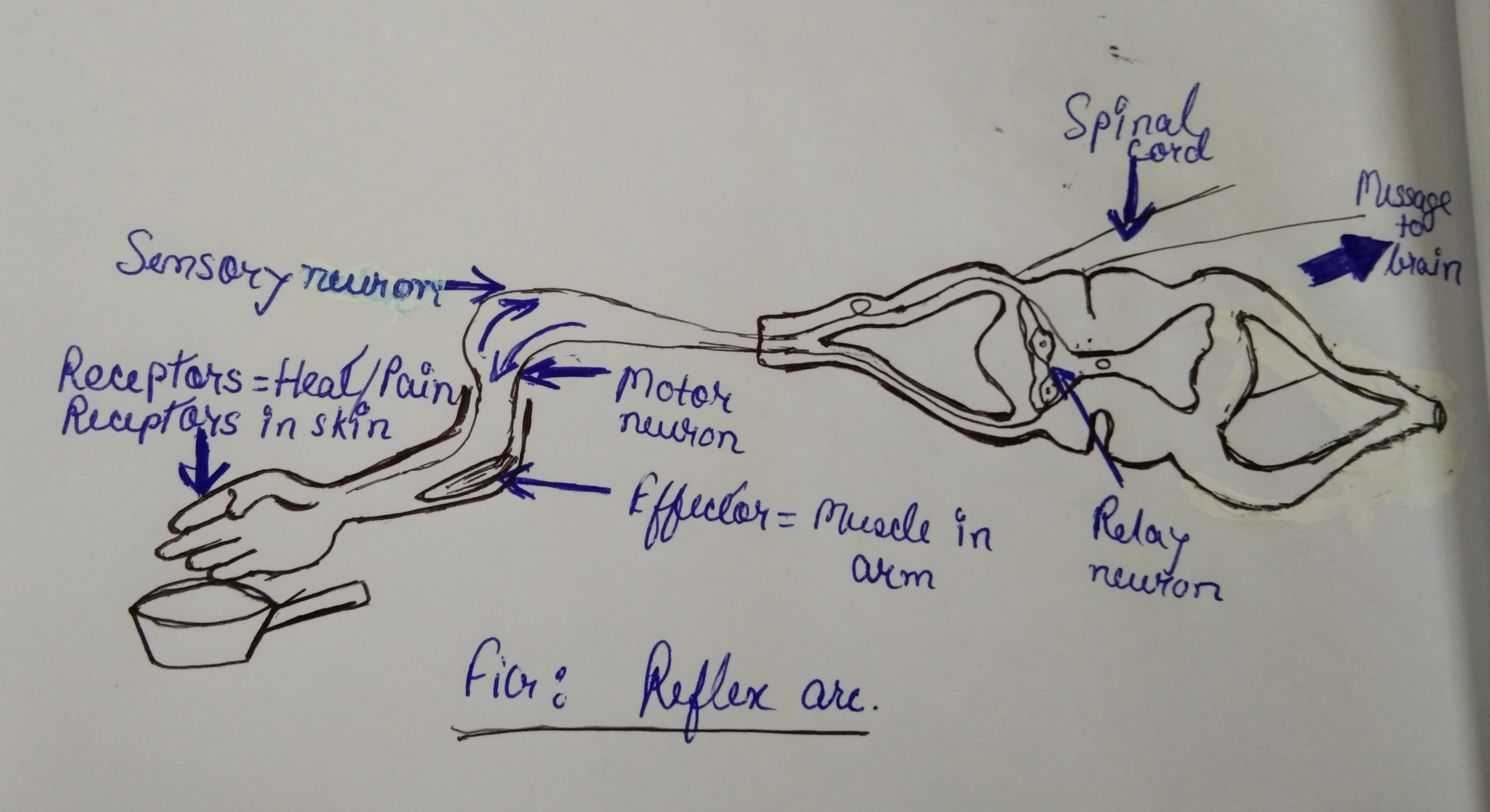 Define Reflex Arc Draw A Flow Chart Showing The Sequence