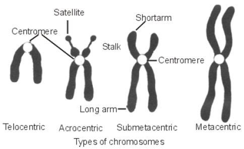 In chromosomes, what are metacentric , submetacentric