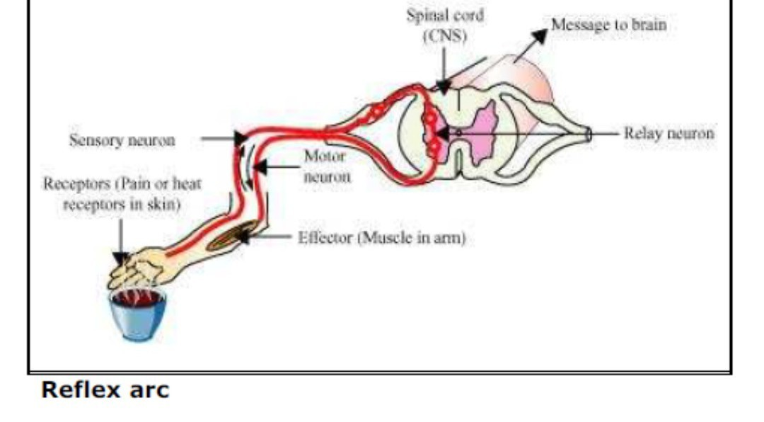 diagram of a simple reflex arc 2006 hyundai sonata wiring draw neat labelled brainly in download jpg
