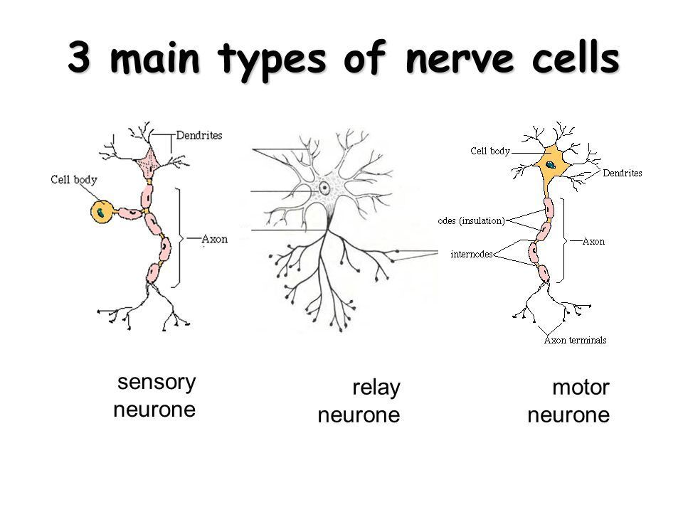 write 3 identifying features of the neuron. Fast!!!!! 50