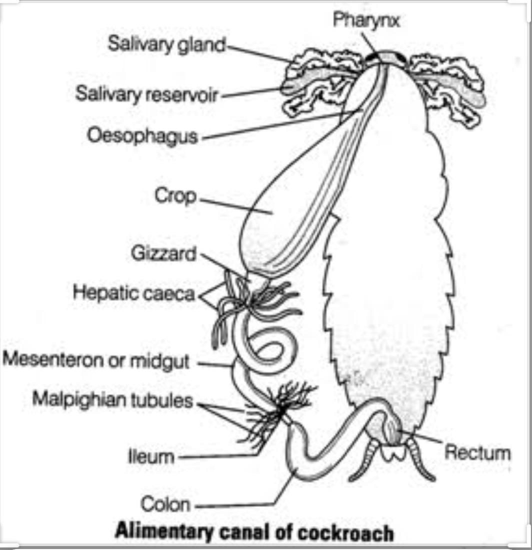 Diagram Of Cockroach Ncert
