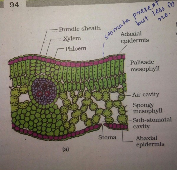 Explain Internal Structure Of Dicot Leaf. - Brainly