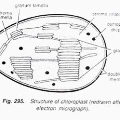 Chloroplast Diagram With Labels Wiring 1996 Toyota Camry Le Are Energy Conveters Explain The Statement Draw Download Jpg
