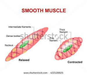 diagram of smooth muscle cell  Brainlyin