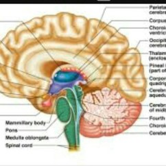 Labelled Diagram Of Human Brain Bose Amp Wiring Manual Draw Neat Functional Areas Download Jpg
