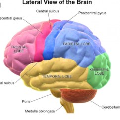 Labelled Diagram Of Human Brain 1971 Vw Beetle Wiring Draw Neat Lateral View Brainly In Download Jpg
