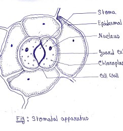 leaf cell diagram label wiring diagram home draw a diagram of stomatal apparatus found in the [ 2448 x 2240 Pixel ]