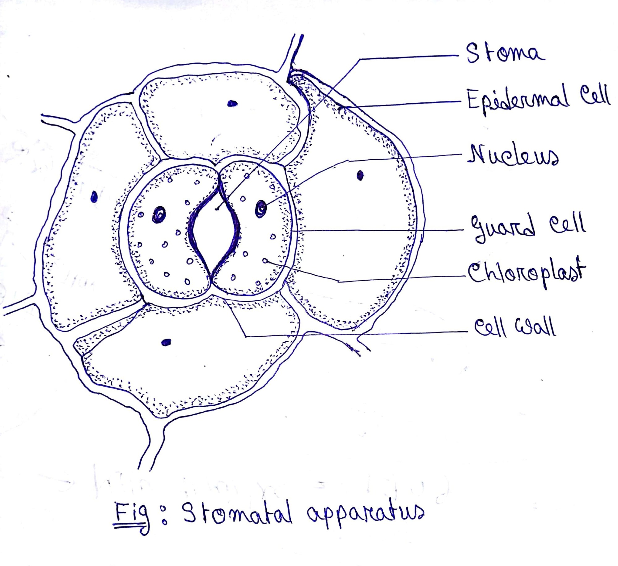 hight resolution of leaf cell diagram label wiring diagram home draw a diagram of stomatal apparatus found in the