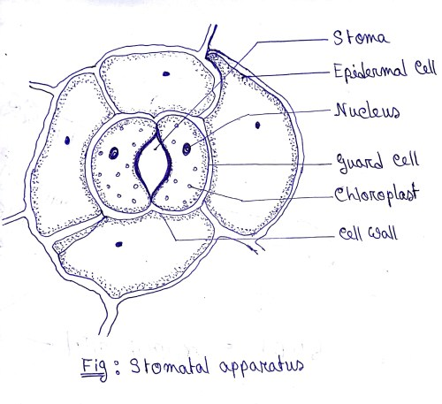 small resolution of leaf cell diagram label wiring diagram home draw a diagram of stomatal apparatus found in the