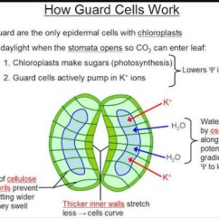 Structure Of Stomata With Diagram 3g Network Architecture A Draw To Show Open Stomatal Pore And Label On