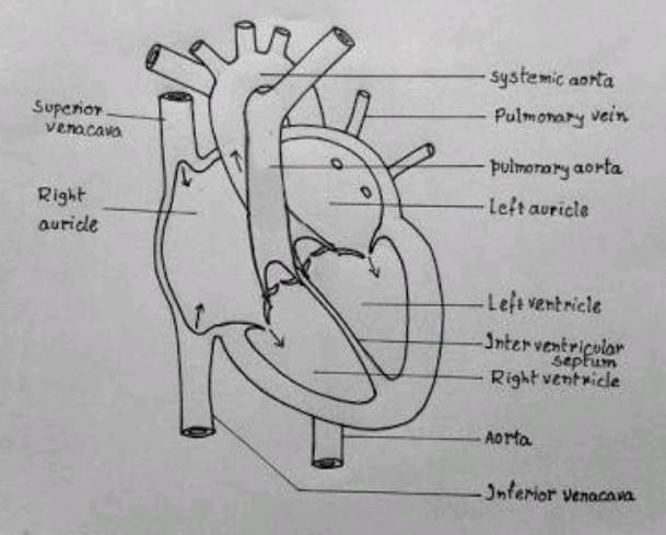 Draw The Diagram Of Human Heart Brainly In