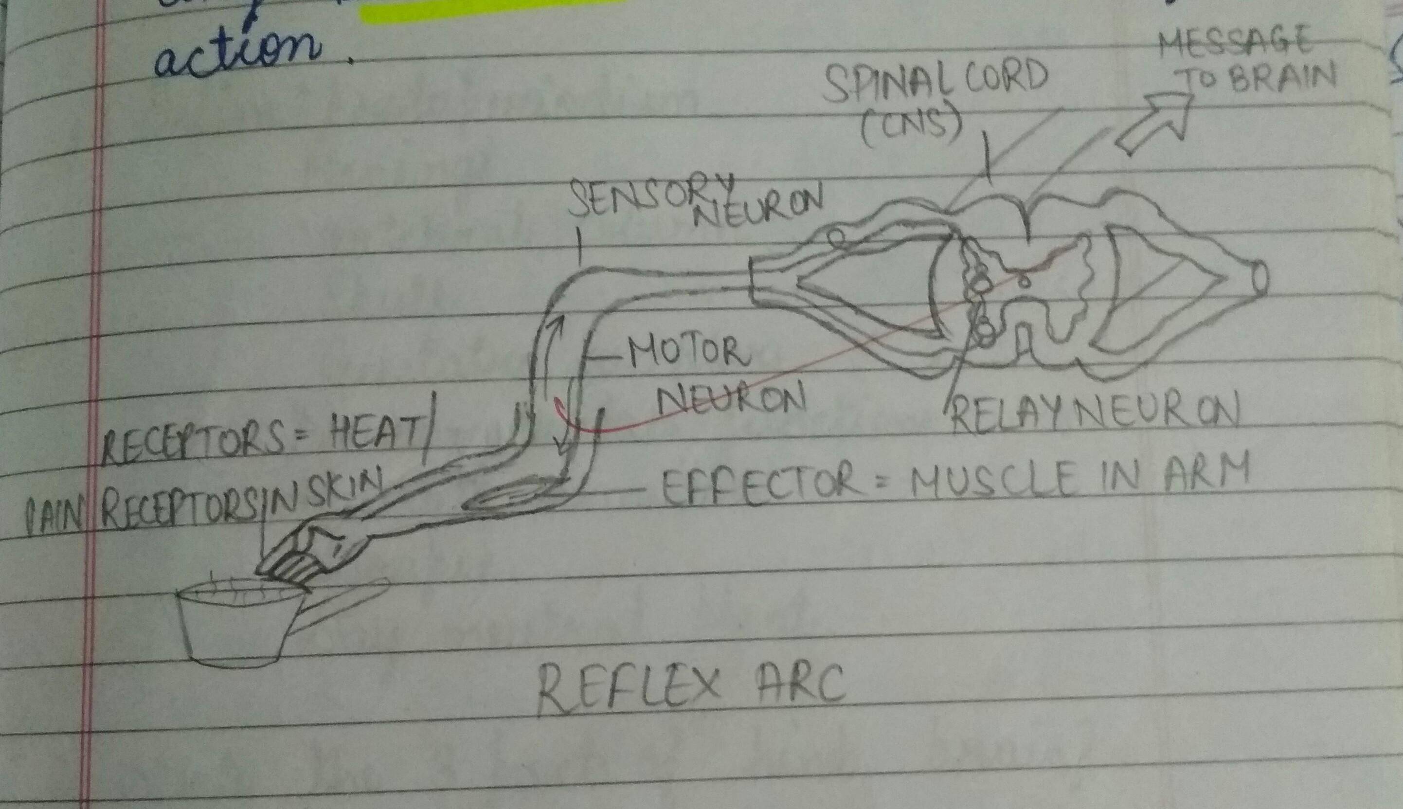 Good Eve Diagram For Reflex Arc Should Be Informative