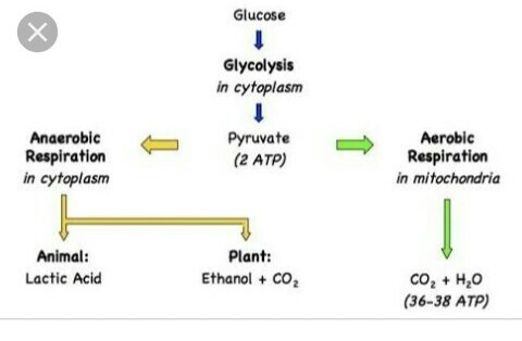 Name the intermediate and the end products of glucose