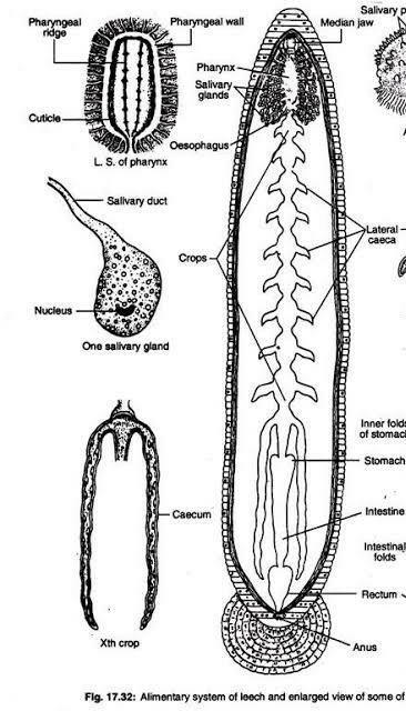 Describe the structure of digestive system in leech