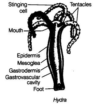 rotifer diagram labeled garage door opener wiring of hydra well labelled electrical u2022 amoeba