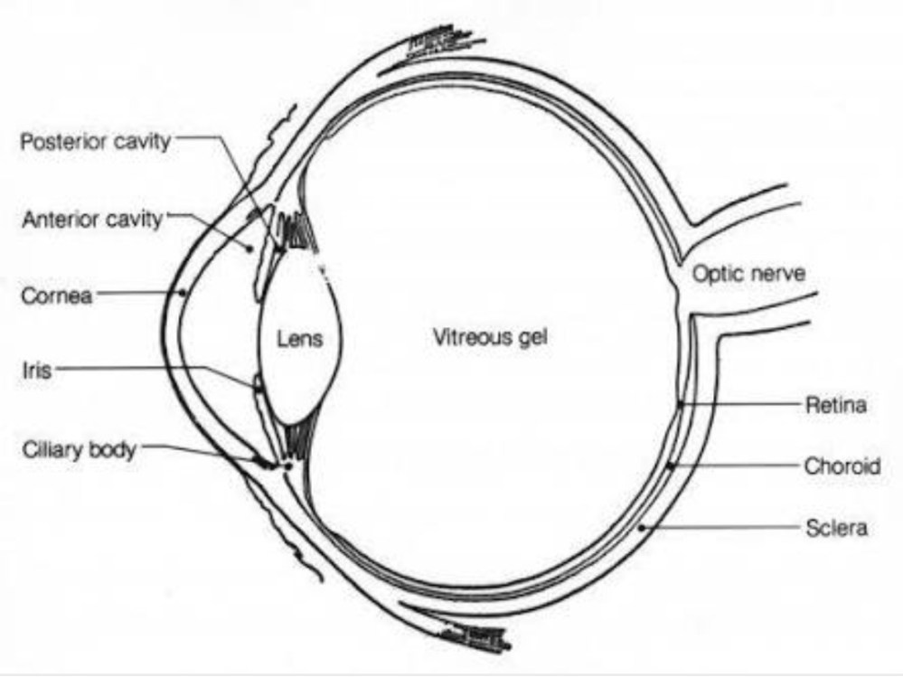 medium resolution of draw a human eye and label it parts jpg 1080x809 human eye diagram without labels