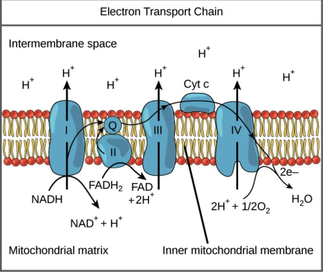 What Is Oxidative Phosphorylation