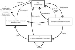 draw a well label diagram of carbon cycle  Brainlyin