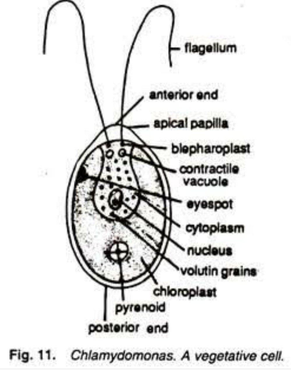 medium resolution of give the picure of a well labelled diagram of algae chlamydomonas diagram of algae cell