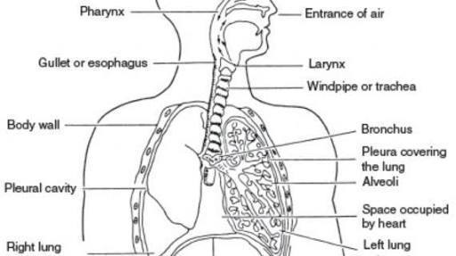 draw and label diagram of human respiratory system with