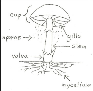 draw a labelled diagram of an edible basidiomycetes you