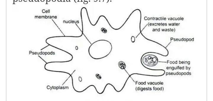 euglena diagram blank caravan wiring 13 pin of amoeba all data answers oreo note