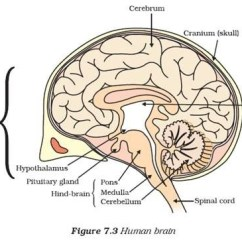 Easy Brain Diagram Dual Start Capacitor Wiring Steps To Draw Human Class 10 Ncert Write Down Each Step Download Jpg