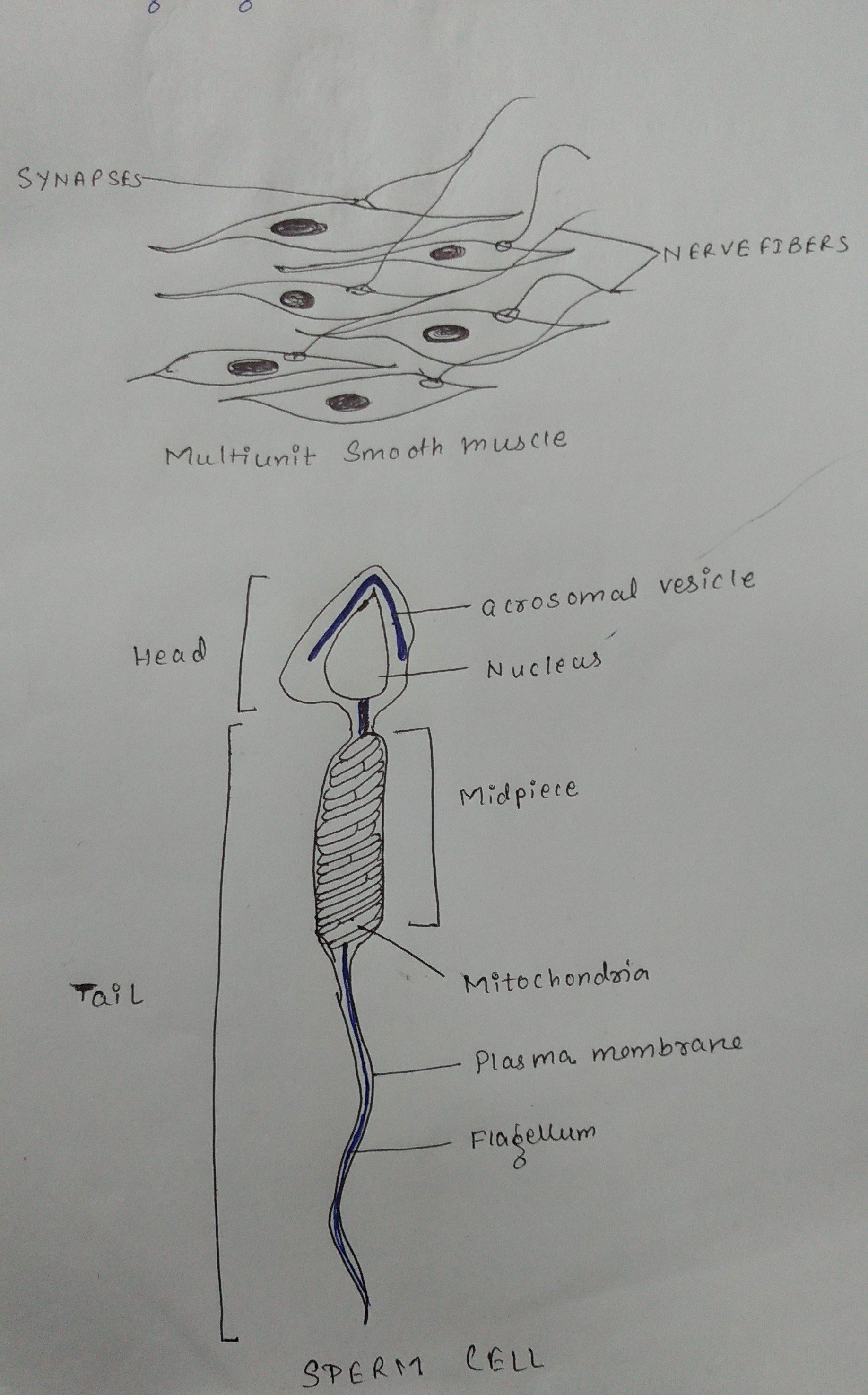 Where Can I Find A Diagram Of A White Blood Cell Tutorvista Answers
