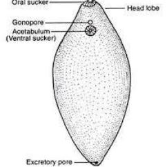 Mollusca Diagram Labeled 1995 Ford Ranger Fuse Phylum Platyhelminthes Wiring Schematics Easy And Simple Of Any One Organism In Rh Brainly Diagrams Class Cestoda