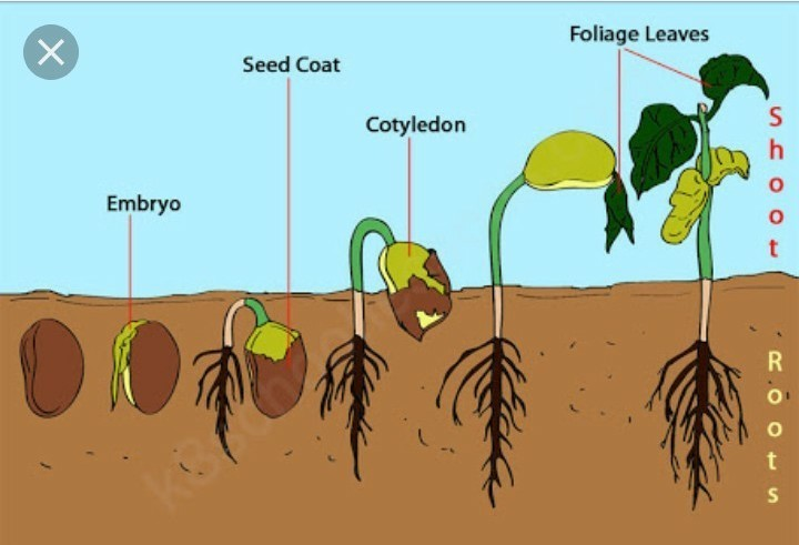 Seed Germination Diagram Germination Inhibitor And