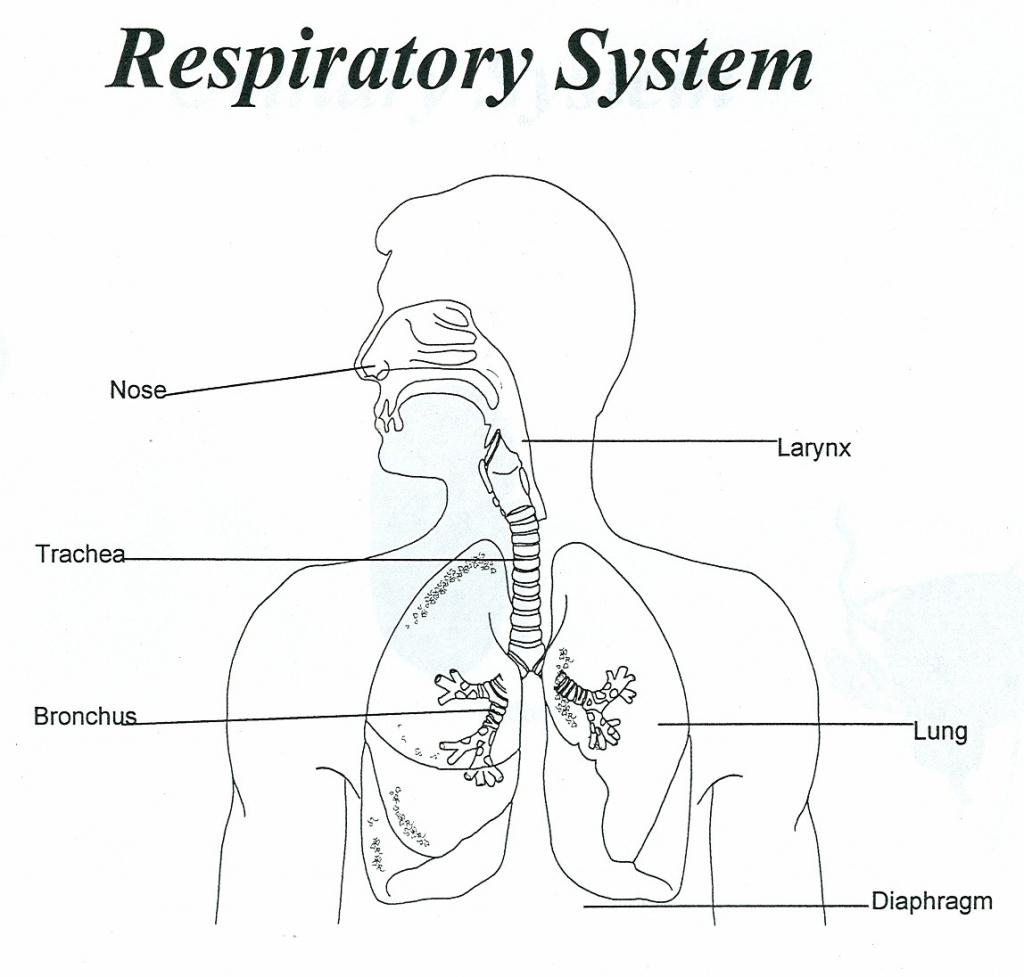 Respiratory System Flowchart