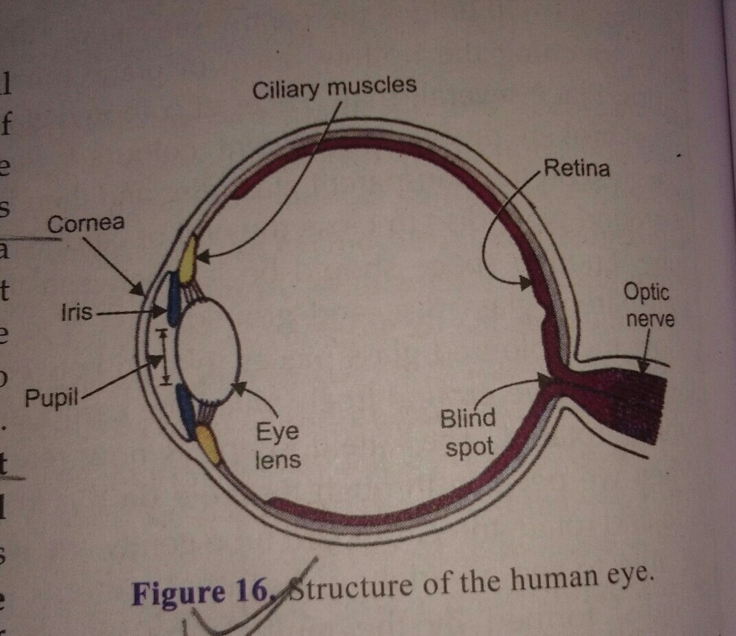 Draw A Labelled Diagram Of Human Eye And Give Functions Of