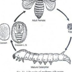 Inside Of A Worm Diagram 1994 Ford Explorer Xlt Radio Wiring To Show Life Cycle Silk Moth Brainly In