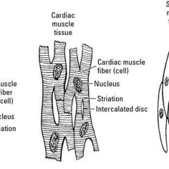 Cardiac Muscle Labeled Diagram H6024 Headlight Wiring Draw A Well Labelled To Show The Difference In Three Types Download Jpg