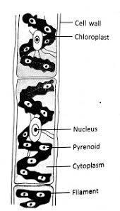 Spirogyra Labelled Diagram : spirogyra, labelled, diagram, Diagram, Spirogyra, Label, Labels, Database