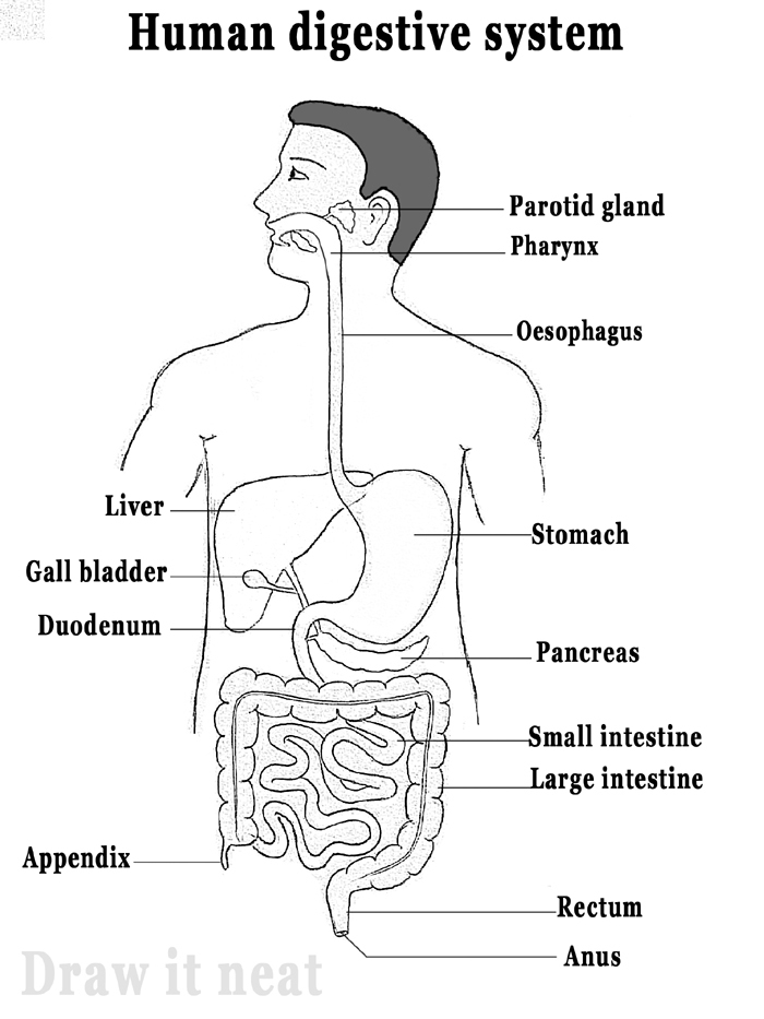Draw a labelled diagram of the human alimentary canal