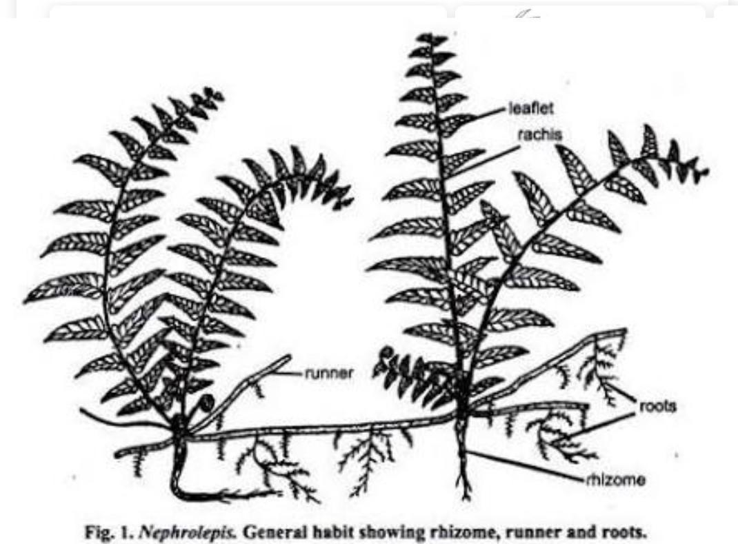 Diagrams Nephrolepis