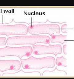 sketch the onion peel cell as seen under the microscope label the onion cell diagram label [ 1280 x 720 Pixel ]