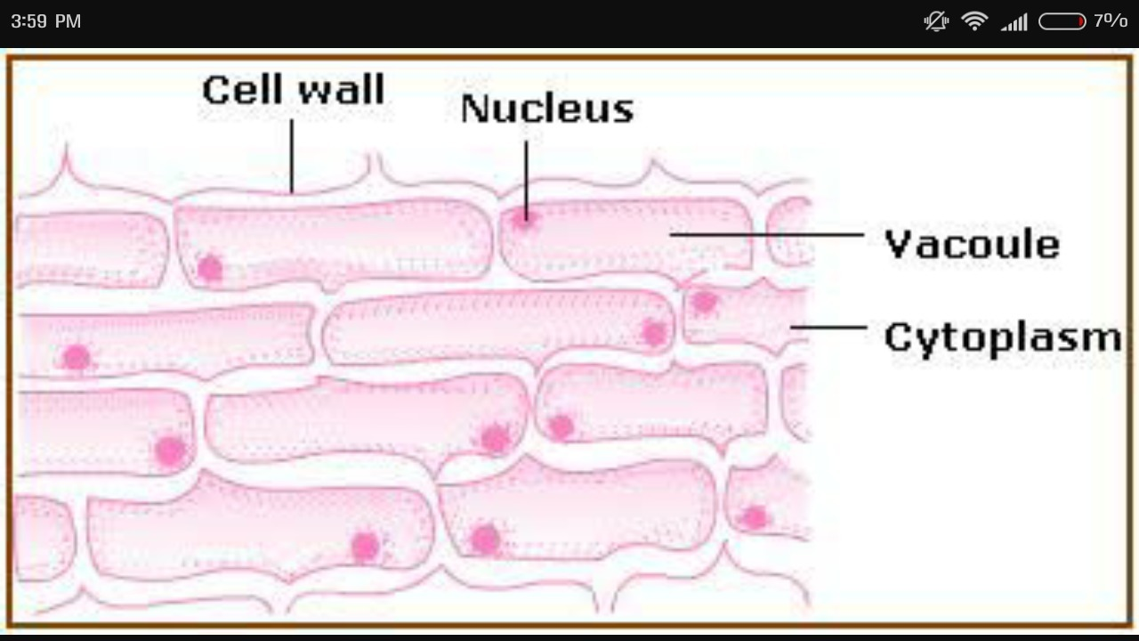 hight resolution of sketch the onion peel cell as seen under the microscope label the onion cell diagram label