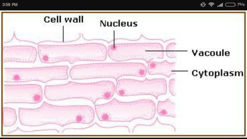 small resolution of sketch the onion peel cell as seen under the microscope label the onion cell diagram label