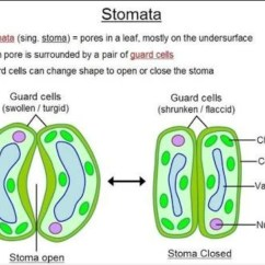 Palisade Cell Diagram Plant 2 Line Phone Wiring A Draw To Show Open Stomatal Pore And Label On