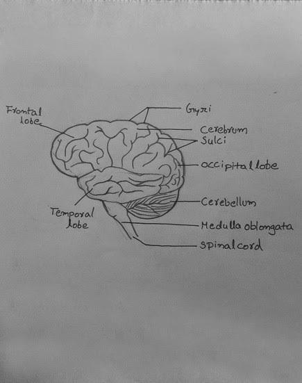 easy brain diagram 36 volt club car motor wiring steps to draw human class 10 ncert write down each step download jpg
