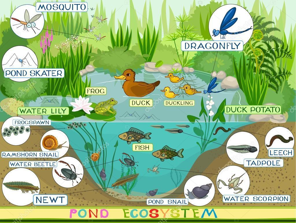 Write A Short Notes On Pond Eco System