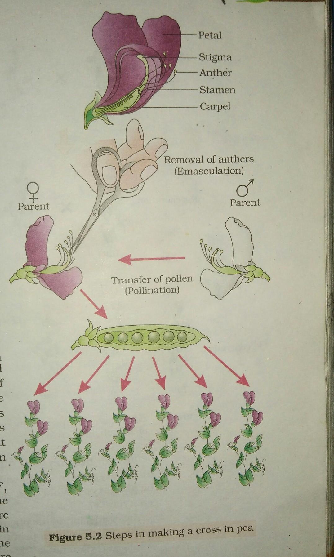 How Did Mendel Make Sure That The Pea Plants Self