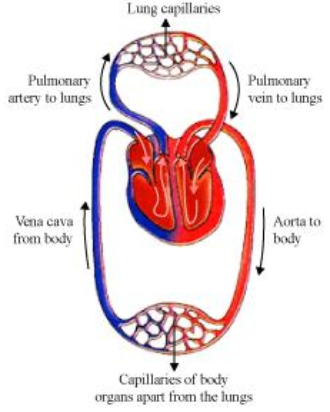 What Is A Double Circulation Explain With The Schematic Diagram