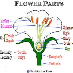 Diagram Of A Flowering Plant With Label Electric Underfloor Heating Wiring Draw Neat Labelled Male And Female Reproductive System Download Jpg