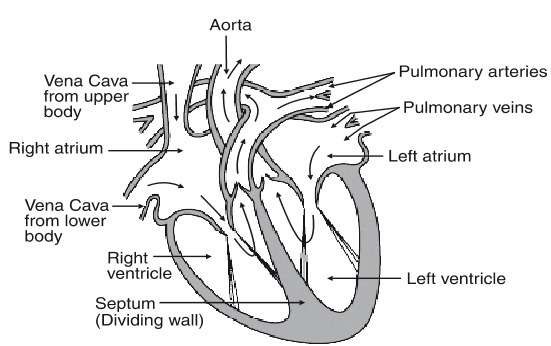 easy diagram of cross section of the heart(urgently needed