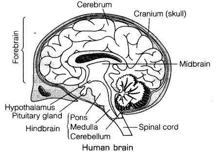 draw a diagram of human brain label on it cerebrum and