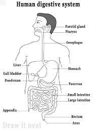 Draw neat and well labelled diagram of Human digestive