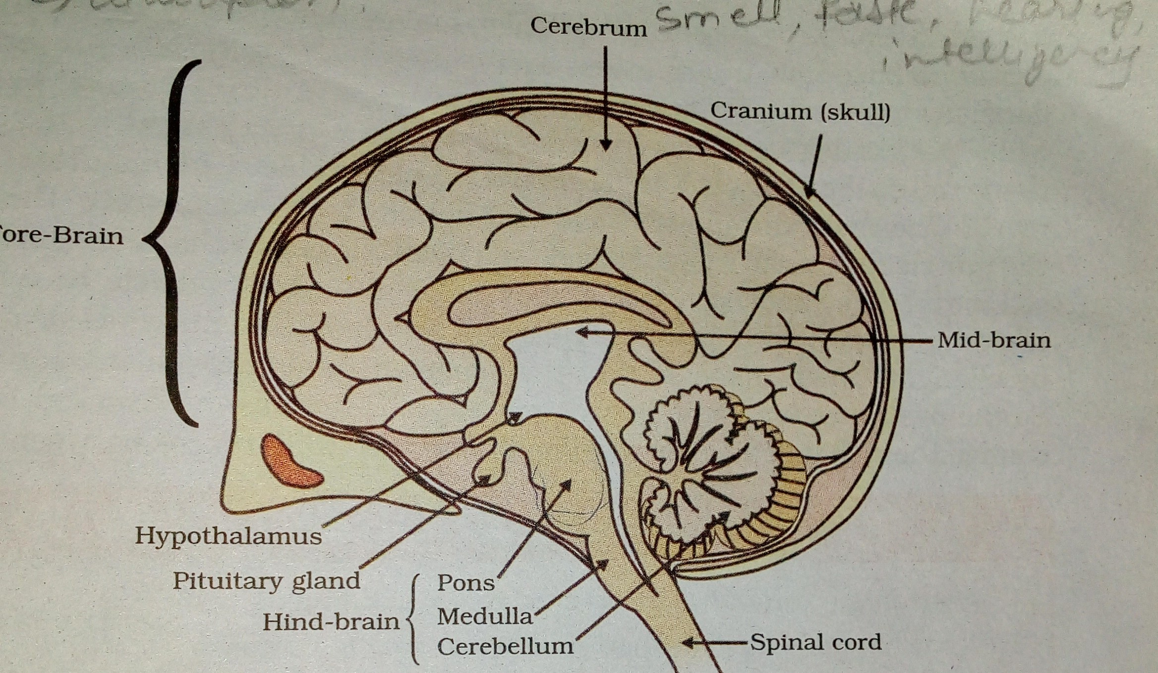 what is lvdt explain it with neat diagram emg pickup wiring a i draw of human brain and ii label